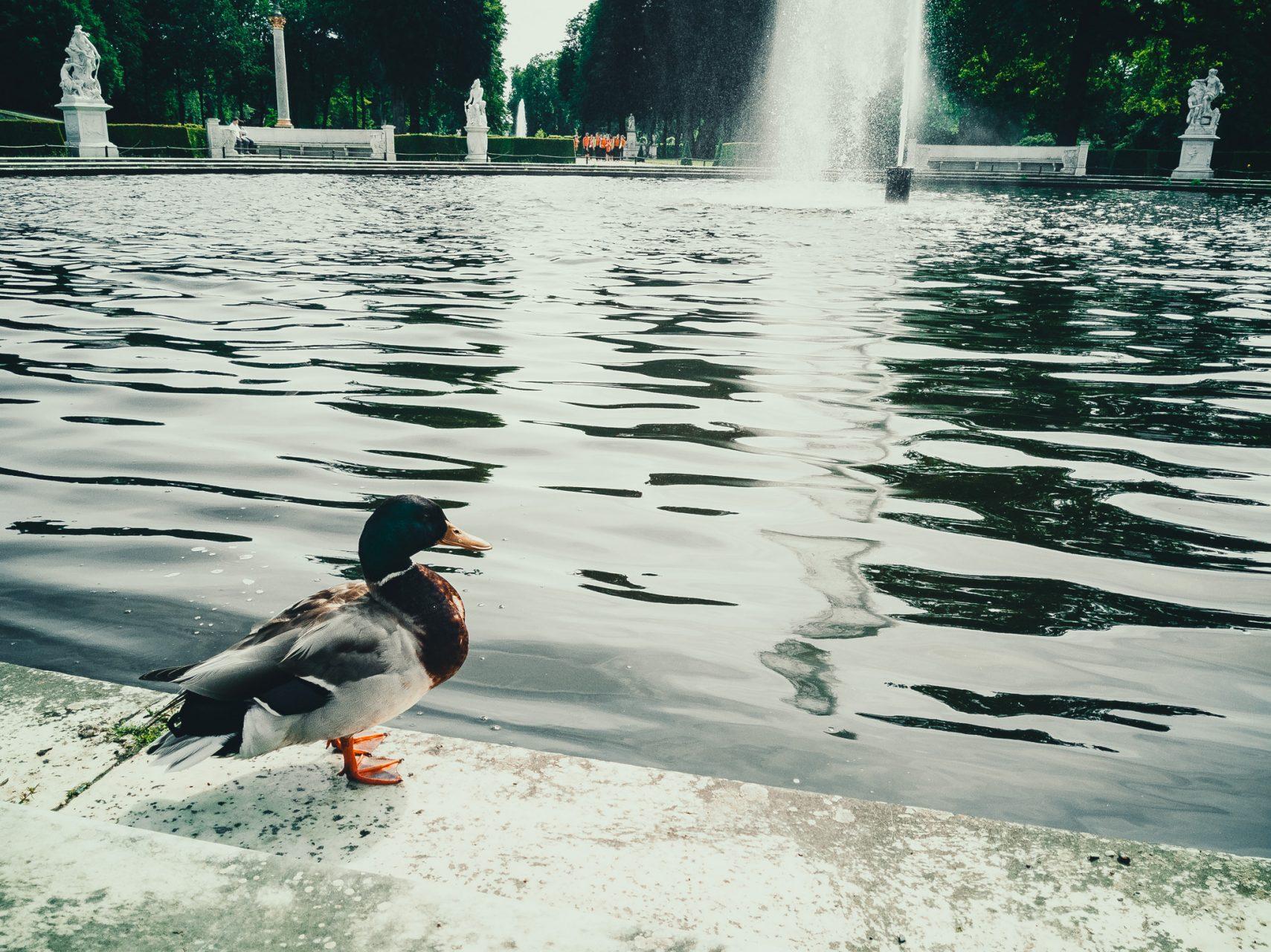 """Tag 318 - Ente // """"Man muss schon sehr, sehr lange mit geöffnetem Mund auf einem Stuhl sitzen, bis einem gebratene Enten hineinfliegen."""" - Immanuel Kant"""