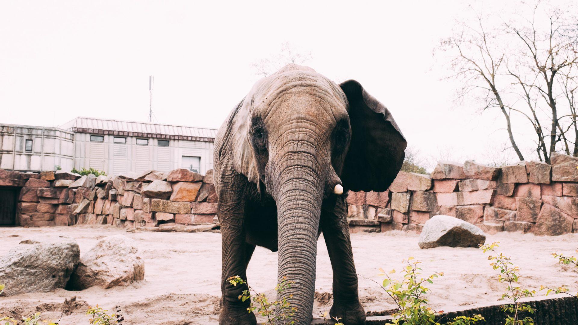 """Tag 306 - Elefant // """"Du magst den wilden Elefanten zähmen, des Bären und des Tigers Rachen schließen, auf einem Löwen reiten und mit einer Kobra spielen, durch Alchemie dein Brot verdienen; du magst das Universum unerkannt durchwandern, die Götter dir zu Sklaven machen, ewig jung erscheinen, magst übers Wasser wandeln und im Feuer nicht verbrennen: doch besser und weit schwerer ist es, die eigenen Gedanken zu beherrschen."""" -Meister Thayumanavar"""