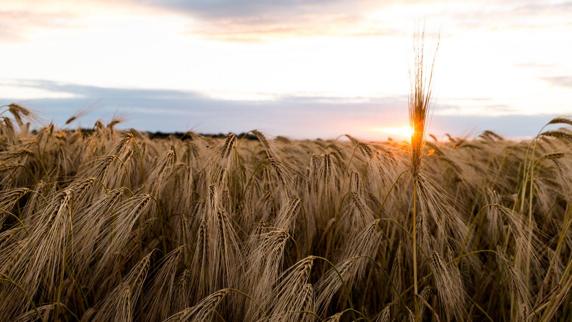"""Tag 339 - Kornfeld// """"Mir geht die Fähigkeit ab, Ideenkörner zu zersetzen, mein Korn zu mahlen und zu verbacken."""" - Christian Friedrich Hebbel"""